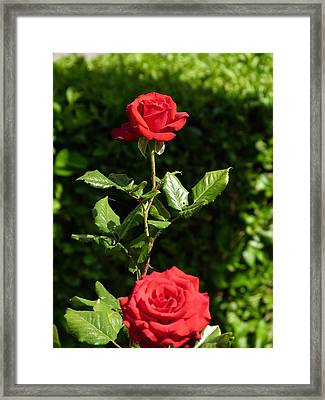 Framed Print featuring the photograph The First Rose by Janina  Suuronen
