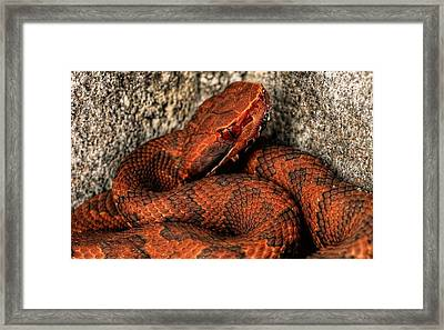 The Florida Cottonmouth Framed Print by JC Findley
