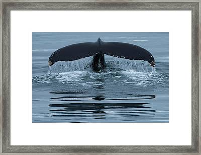 The Fluke Of A Humpback Whale Framed Print by Michael Melford