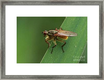 The Fly ? Framed Print by Peter Skelton
