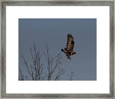 The Flying Hawk Framed Print by Rhonda Humphreys