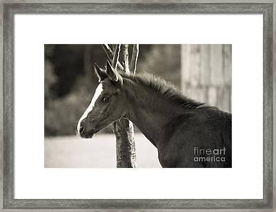 The Foal Framed Print by Angel Ciesniarska