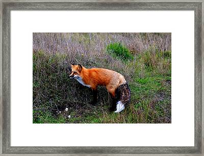 The Fox Framed Print by Annie Pflueger