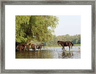 The Free Roaming Horses Of Maliuc Framed Print by Martin Zwick