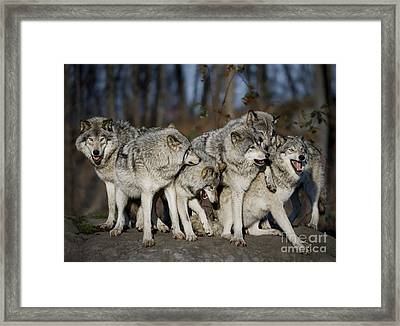 Framed Print featuring the photograph The Gang by Wolves Only