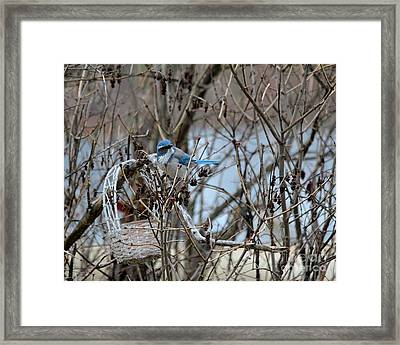 Framed Print featuring the photograph The Gathering Blue Jay by Marjorie Imbeau