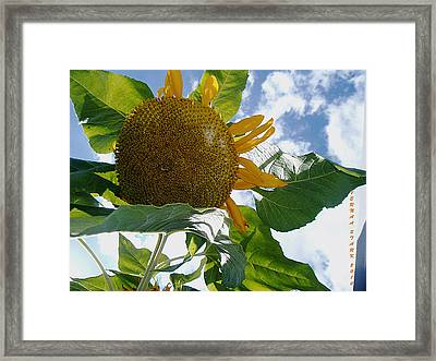 Framed Print featuring the photograph The Gigantic Sunflower by Verana Stark