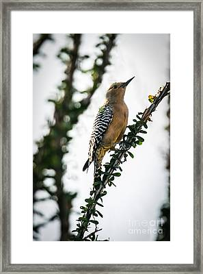 The Gila  Woodpecker Framed Print by Robert Bales