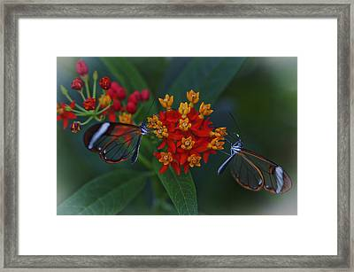 The Glasswinged Butterfly Framed Print by Maj Seda