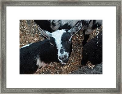 Framed Print featuring the photograph The Goat With The Gorgeous Eyes by Verana Stark