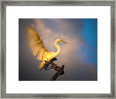 The Golden Egret Framed Print