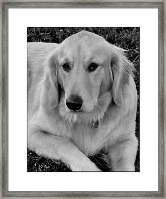 The Golden Retriever Framed Print