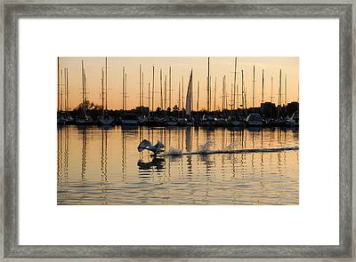 The Golden Takeoff - Swan Sunset And Yachts At A Marina In Toronto Canada Framed Print by Georgia Mizuleva