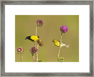 The Goldfinch Couple Framed Print by Donna Caplinger