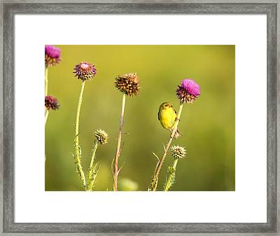 The Goldfinch Framed Print by Donna Caplinger