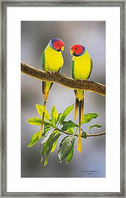 The Gorgeous Guys - Plum-headed Parakeets Framed Print