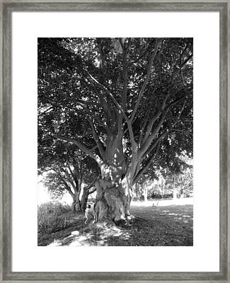 The Grandmother Tree Framed Print by Sarah Lamoureux