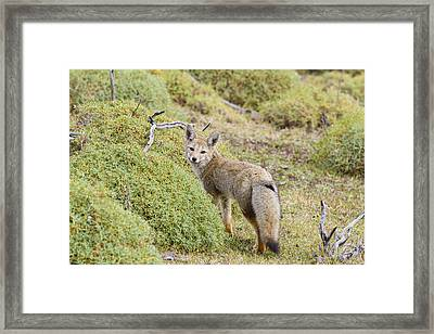 The Gray Fox Framed Print by Tim Grams