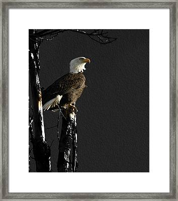 The Great Bald Eagle 1  Framed Print