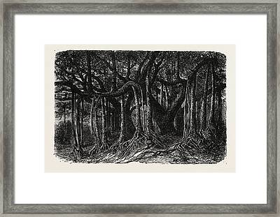 The Great Banyan, Or Sacred Tree Framed Print