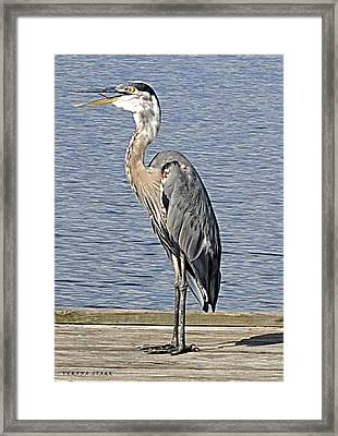 The Great Blue Heron Photo Framed Print