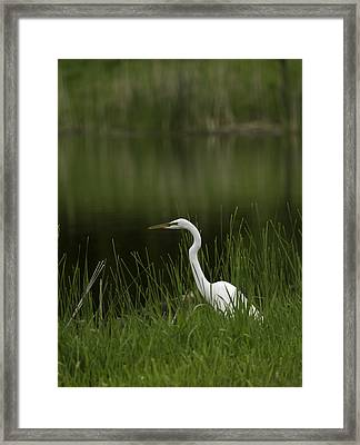 The Great Egret 1 Framed Print by Thomas Young