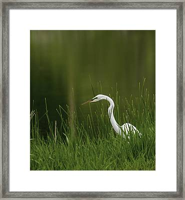 The Great Egret 3 Framed Print by Thomas Young