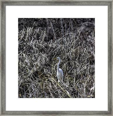 The Great Egret Framed Print by Kris Rowlands