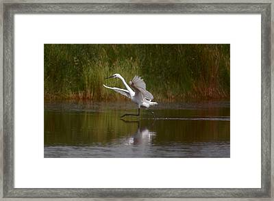 Framed Print featuring the photograph The Great Egret by Leticia Latocki