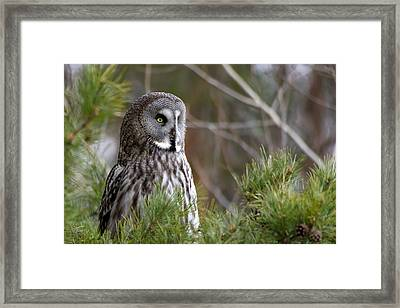 The Great Grey Owl Framed Print