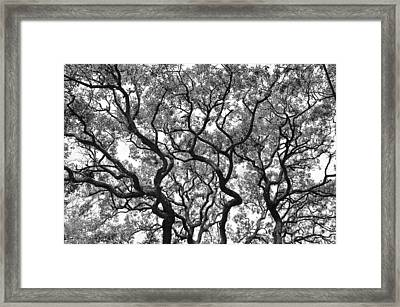 The Great Oak In Black And White Framed Print by Aimee L Maher Photography and Art Visit ALMGallerydotcom
