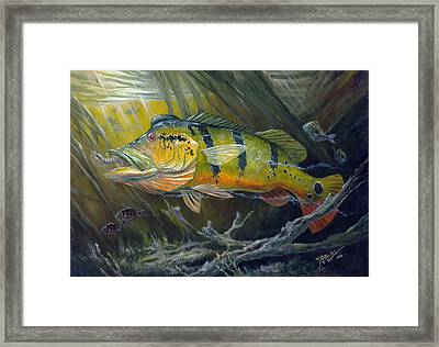 The Great Peacock Bass Framed Print