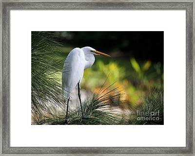 The Great White Egret Framed Print