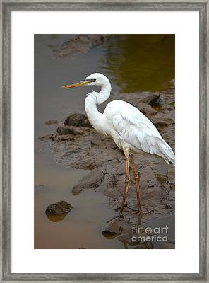 The Great White Heron  Framed Print by Kathy Gibbons