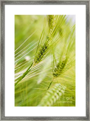 The Green Rye Beautiful Framed Print by Boon Mee