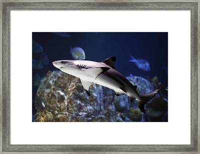 The Grey Reef Shark - Carcharhinus Amblyrhynchos Framed Print