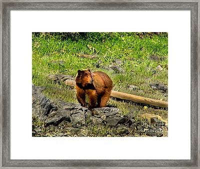 The Grizzly Framed Print by Robert Bales