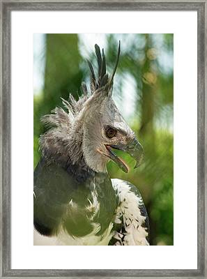 The Harpy Eagle (harpia Harpyja Framed Print