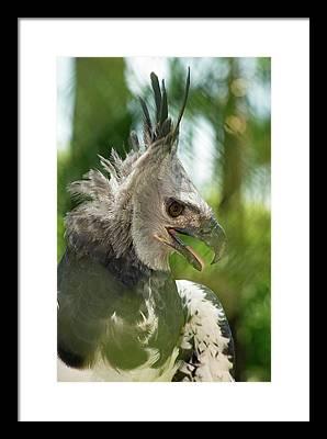 Harpy Eagle Framed Prints