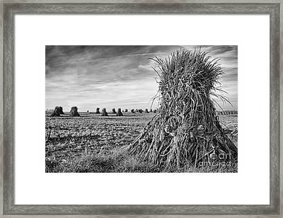 Amish Harvest Framed Print