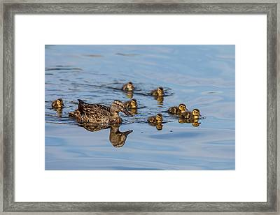 The Hen And Brood Of Young Mallard Framed Print by Michael Qualls