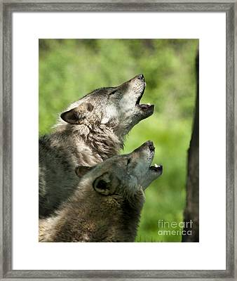 Framed Print featuring the photograph The Howling by Wolves Only