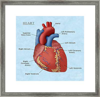 The Human Heart, Illustration Framed Print