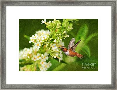 The Hummer And The Butterfly Bush Framed Print by Darren Fisher