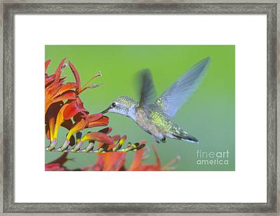 The Humming Bird Sips  Framed Print