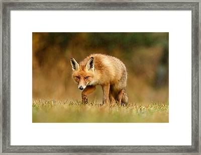 The Hunter In The Rain - Red Fox On A Rainy Day Framed Print