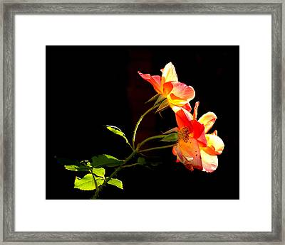 Framed Print featuring the photograph The Illuminated Rose by AJ  Schibig