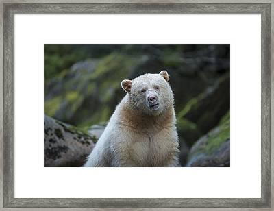 The Kermode Or Spirit Bear Framed Print by Bill Cubitt