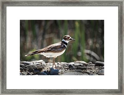 The Killdeer Framed Print