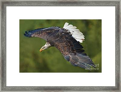 The King Of The Skies... Framed Print